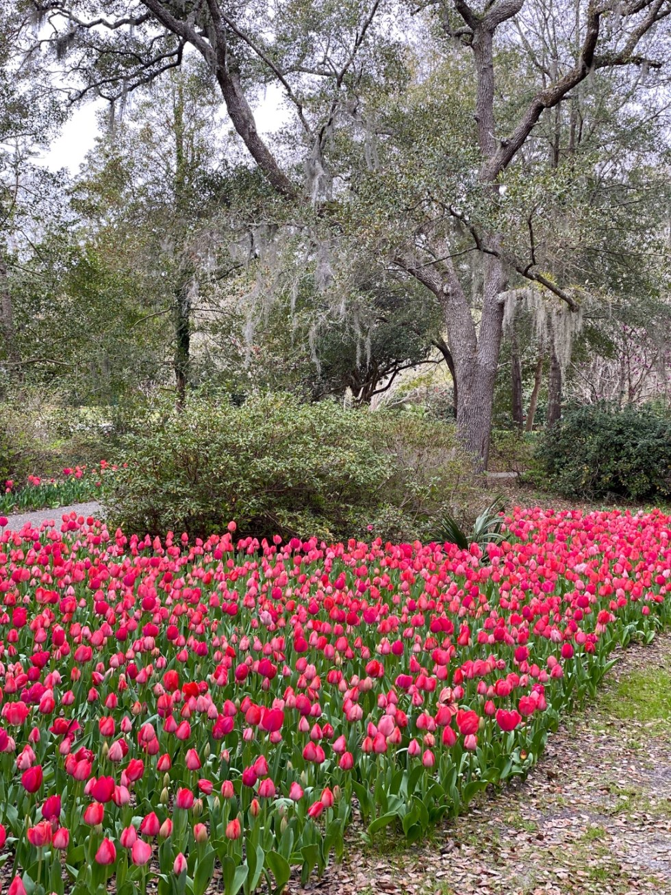 A Spring Weekend in Wilmington, NC: the Best Things to Do - I'm Fixin' To - @imfixintoblog |Weekend in Wilmington by popular NC travel blog, I'm Fixin' To: image of pink tulips.
