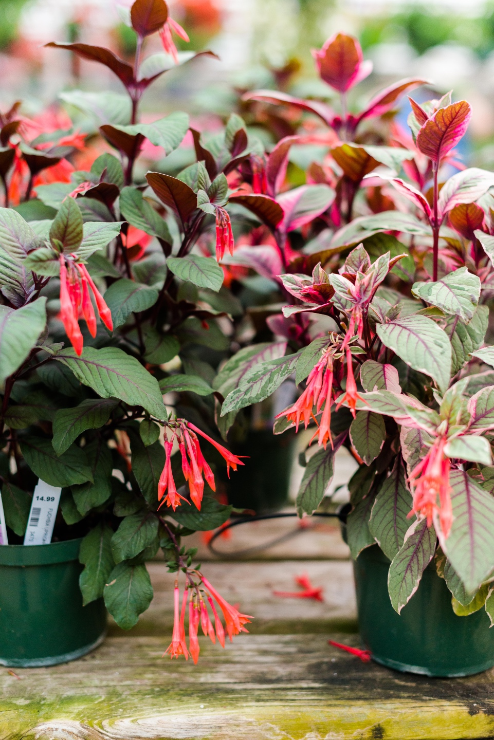 5 Spring Planting Tips with Fairview Garden Center - I'm Fixin' To - @imfixintoblog |Best Plants to Plant in Spring by popular NC lifestyle blog: image of a red floral plant.