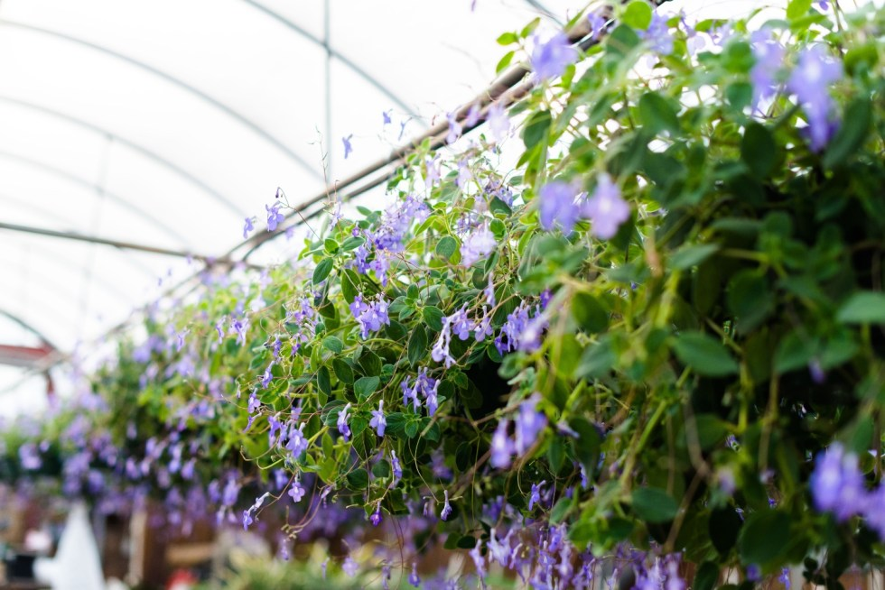 5 Spring Planting Tips with Fairview Garden Center - I'm Fixin' To - @imfixintoblog |Best Plants to Plant in Spring by popular NC lifestyle blog: image of purple floral hanging plants at the Fairview Garden Center.