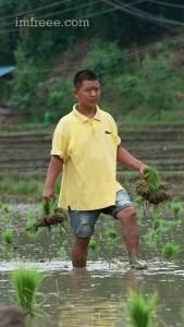 Farmer Distributing Rice plants