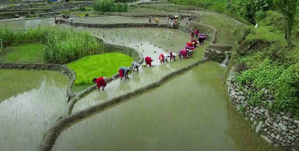 Rice Planting in Nepal
