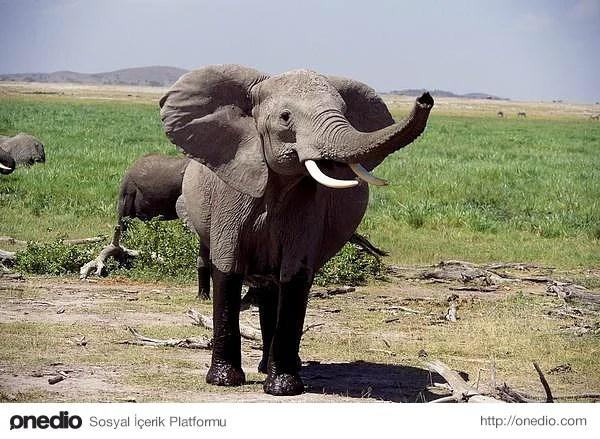 Dünyanın en büyük hayvan türleri arasında yer alan filler, arılardan korkarlar.