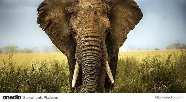 Sürüden bir fil öldüğünde uzunca bir süre yas tuttukları gözlemlenmiştir.