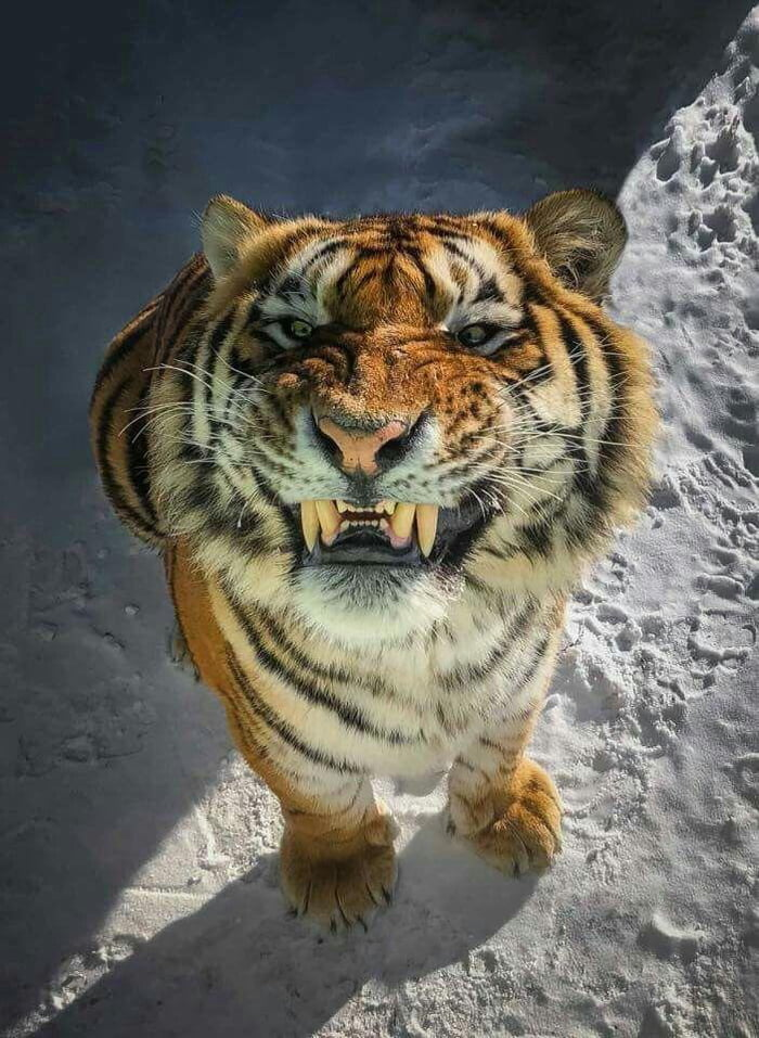 Tiger smiling for the camera.