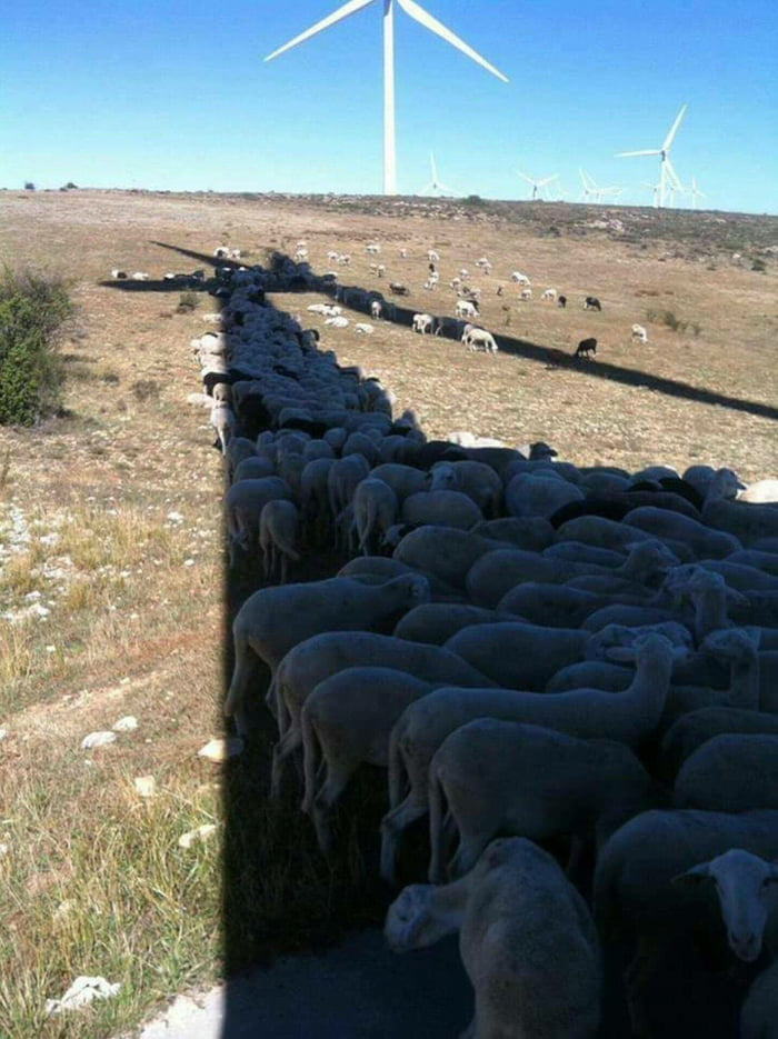 Sheep getting shade from windmills.