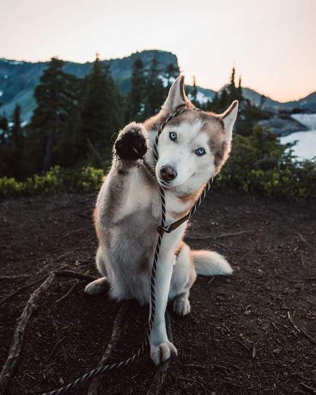 Siberian Husky - @codathewoof Canada