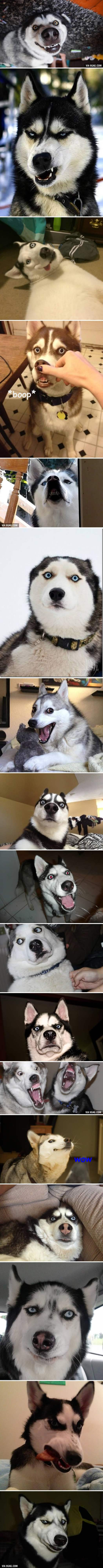 Husky Funny Pictures