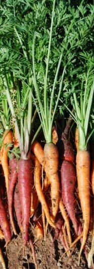 harvested carrots 3