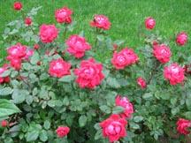 rosesSml2010.jpg