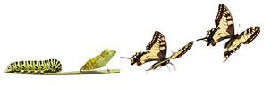 transform_caterpillar_butterfly