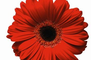 When Do Gerberas Bloom    Home Guides   SF Gate Flowers of gerbera daisy are 2 to 5 inches wide