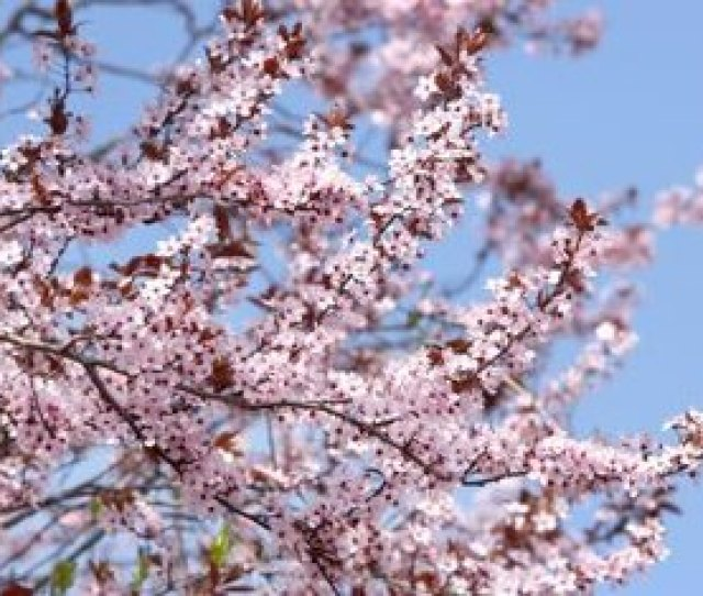 The Japanese Cherry Is An Ornamental Tree But Short Lived