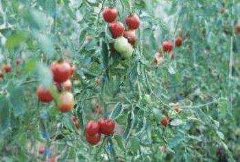 Kelebihan nitrogen dapat membakar daun tanaman dan menyebabkan tinggi, tanaman lebat yang tidak menghasilkan buah.