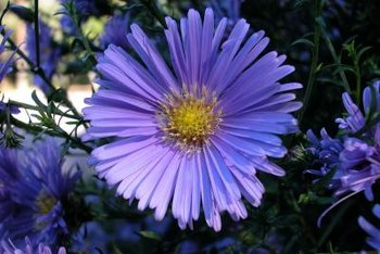 What Is the Type of Soil for Aster Flowers    Home Guides   SF Gate Asters come in a wide range of hues but usually have yellow centers