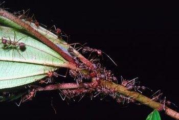 A Mixture Of Boric Acid And Icing Sugar Kills A Colony Ants
