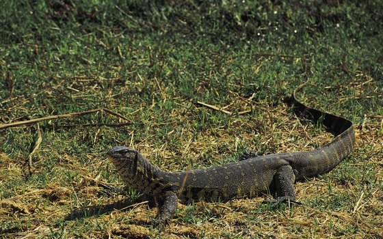 Long and tough, Nile monitors are formidable predators and scavengers.