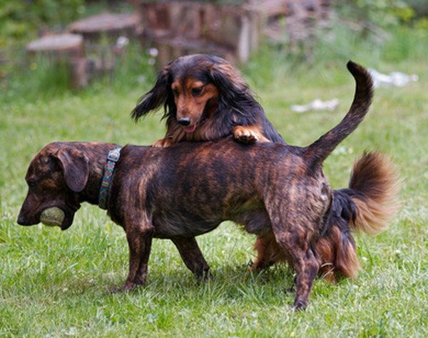 What Is A Piebald Dachshund Pets