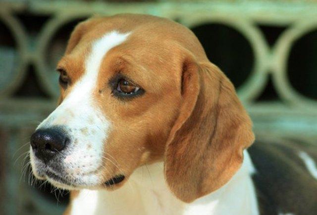 beagle size full grown