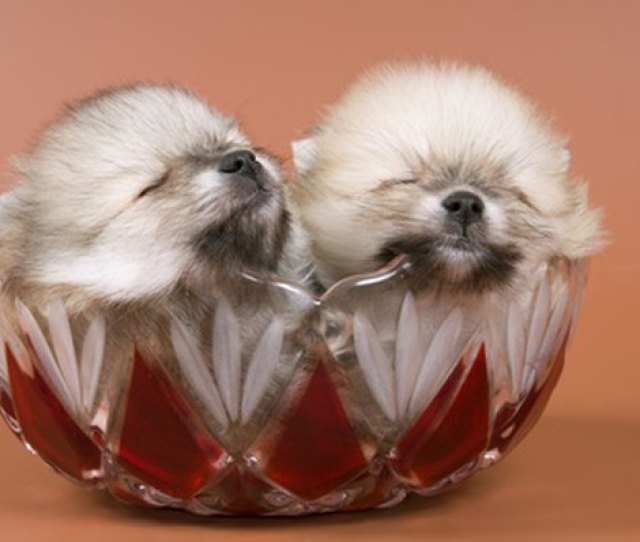 Pomeranian Puppies Weigh Only A Few Ounces At Birth