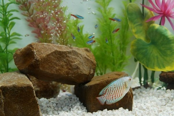 The Best Fish To Put With Neons Amp Guppies Pets