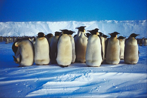 A group of emperor penguins in the Antarctic.
