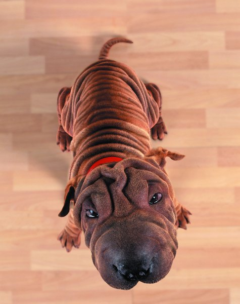 Shar Pei With A Skin Disorder Pets