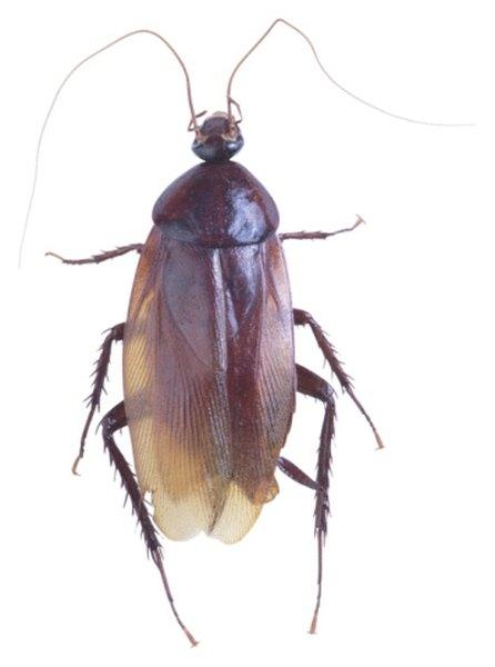 incomplete metamorphosis in cockroaches