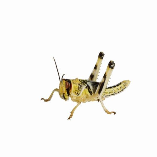 incomplete metamorphosis in Orthoptera