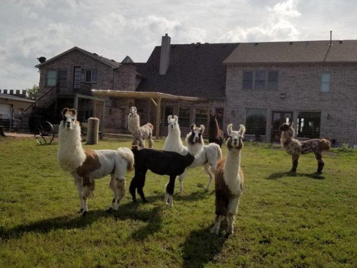 Hike With Llamas At ShangriLlama In Texas