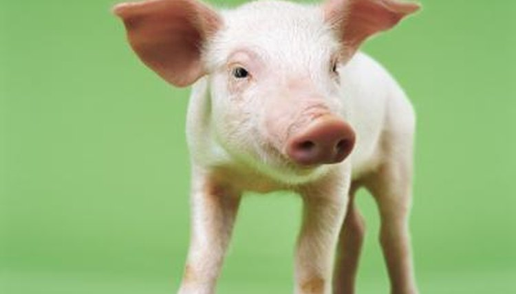 Are There Pigs That Stay Small Forever Animals Mom Me