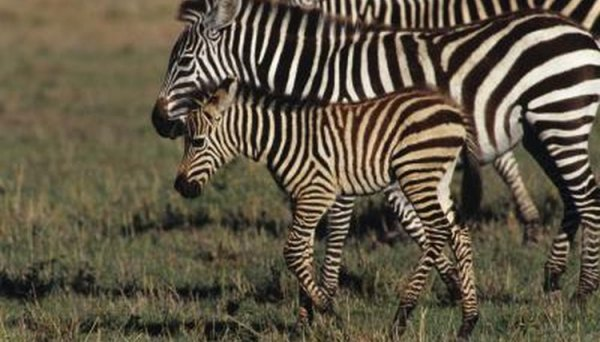 The Life Cycle of a Zebra After It Is Born Animals momme