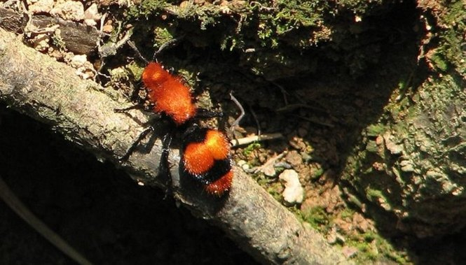 Red Velvet Ants Could Easily Be Mistaken For Alabama Fans Sporting A Fall Sweater In Their Team Color As The Name Implies They Can Also