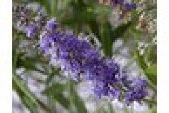 Vitex Flowers