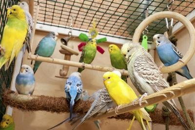 Signs Of Pregnancy In A Budgie With Pictures EHow