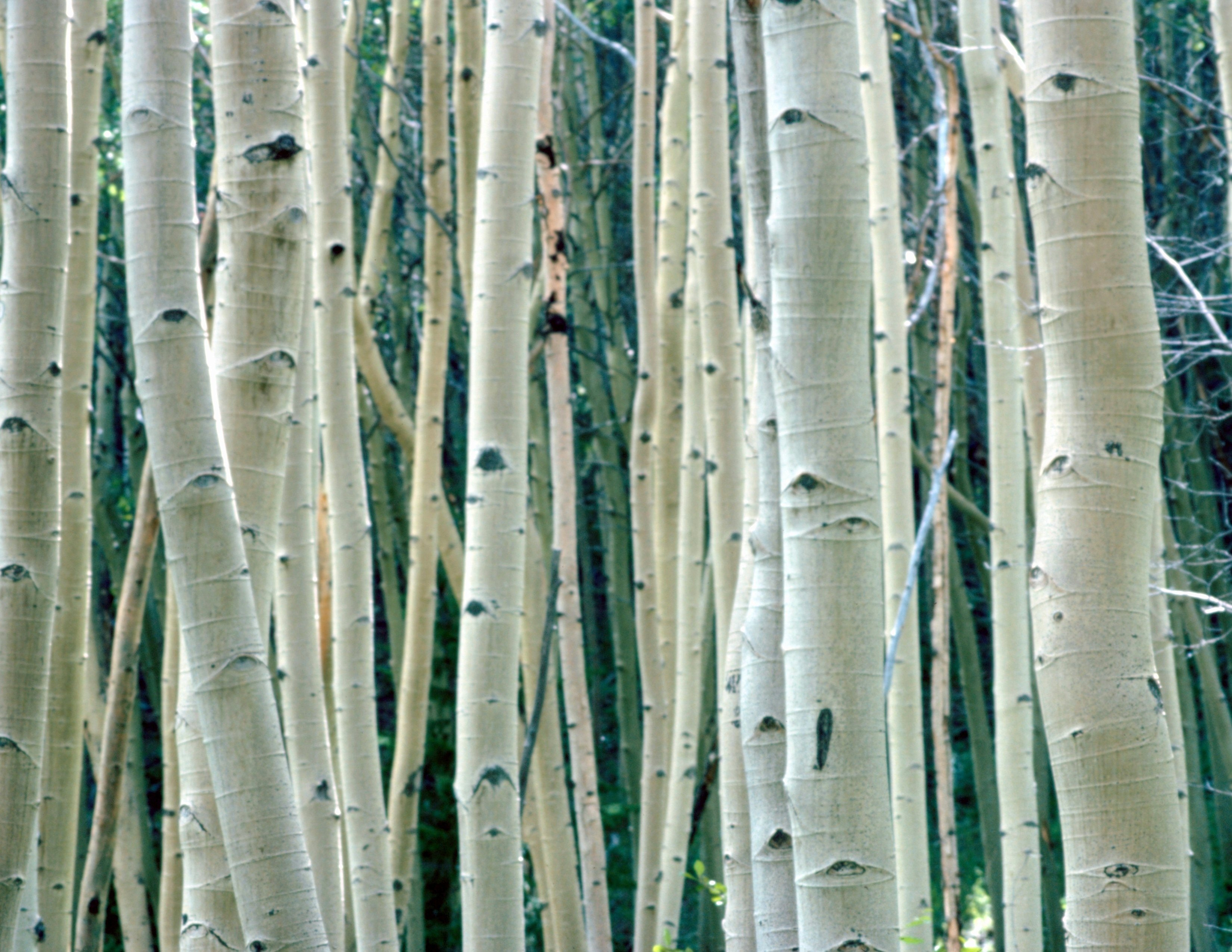 What Is Aspen Wood Used For Ehow