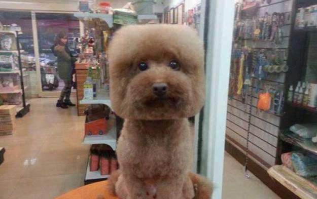 Round and Square dog hairstyles 9