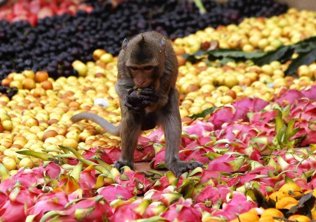 A monkey eats fruits during the annual Monkey Buffet Festival in front of the Pra Prang Sam Yot temple in Lopburi