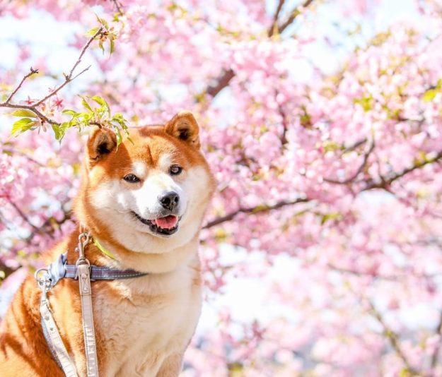 The Happiest Shiba Inu On Instagram #10 | Brain Berries