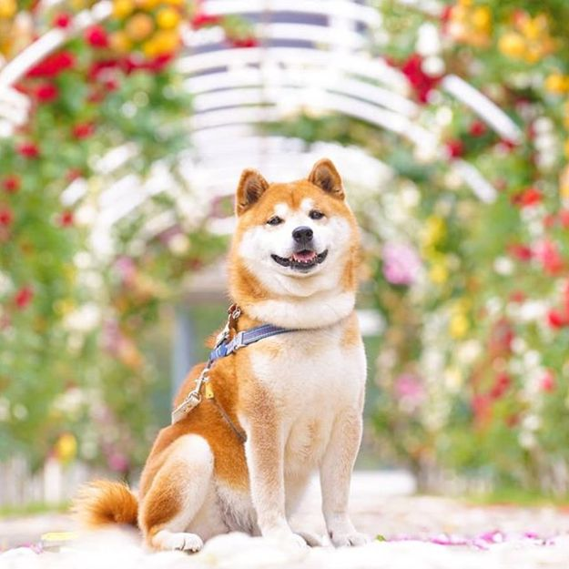 The Happiest Shiba Inu On Instagram #11 | Brain Berries