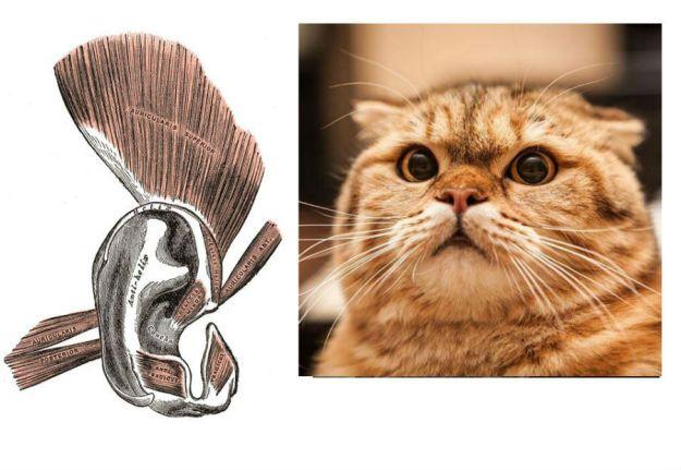 Cơ di chuyển tai (auricular) | 9 Bộ phận cơ thể không thực sự cần thiết | BrainBerries