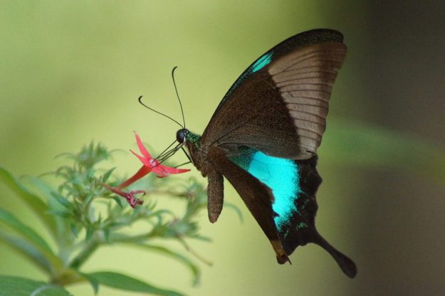 Malabar Banded Peacock | The 7 Most Beautiful Butterflies In The World | BrainBerries
