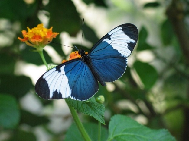 Sapho Longwings | The 7 Most Beautiful Butterflies In The World | BrainBerries