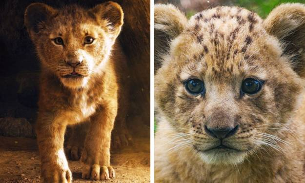 Simba is a male and Bahati is a female | Disney's Live-Action Simba Was Based on the Cutest Lion Cub Ever! | Brain berries