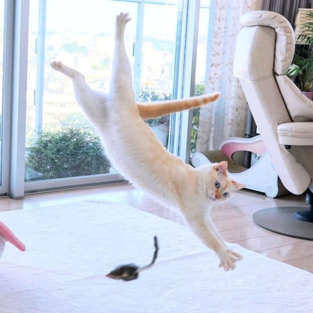 Japanese Dancing Cat #9 | Brain Berries