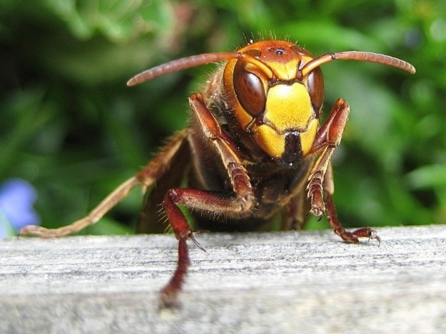 Japanese Hornets | The Deadliest Insects In The World | Brain Berries