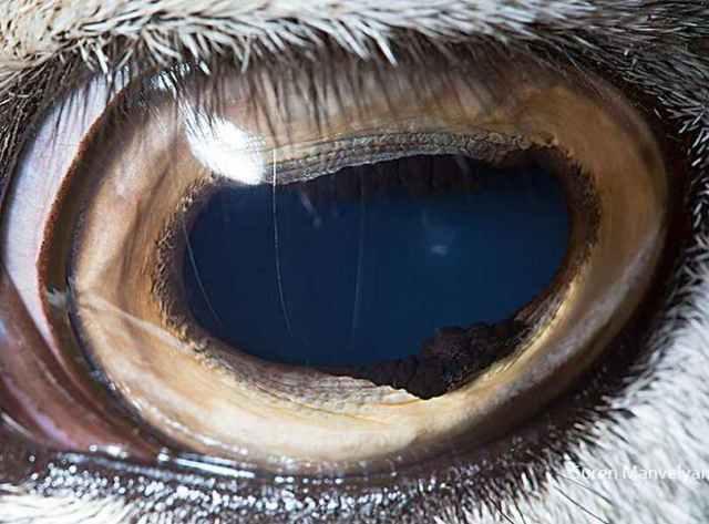 موفلون الأرميني |  مصور يكشف عن لقطات ماكرو لعيون الحيوانات وتبدو مبهرة |  زيسترادار