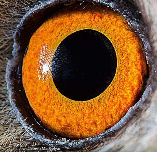 بومة طويلة الأذن |  مصور يكشف عن لقطات ماكرو لعيون الحيوانات وتبدو مبهرة |  زيسترادار