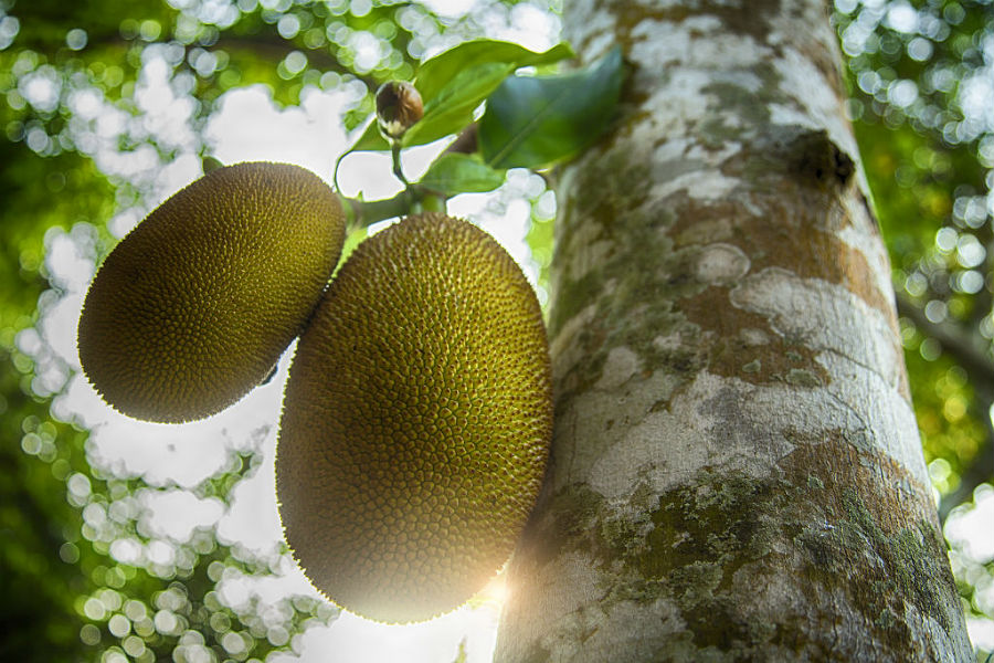 Jackfruit  tree | 9 Facts You Need To Know About The Lip-Smacking Jackfruit | Her Beauty