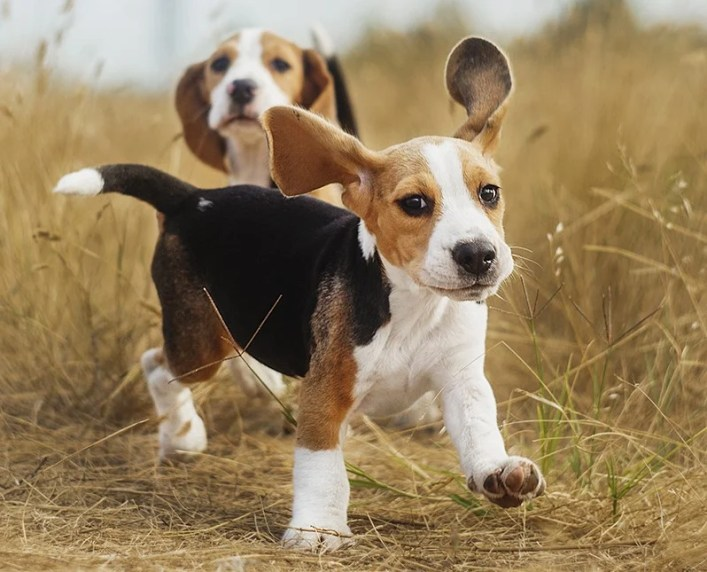 Beagle   9 of The Best Family Friendly Dog Breeds   Her Beauty