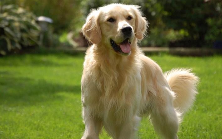 Golden Retriever   9 of The Best Family Friendly Dog Breeds   Her Beauty